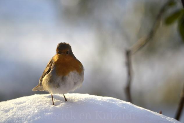 """Photo d'un oiseau posé sur la neige pour le theme 6 """"briller"""" du projet 52 vivre la photo"""